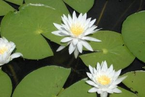 white_water_lily01