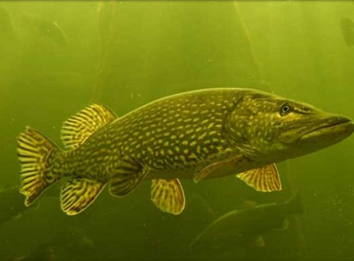northern-fish3