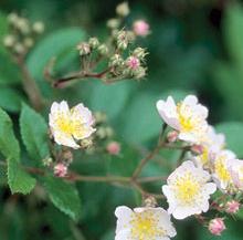 Multi Floral Rose