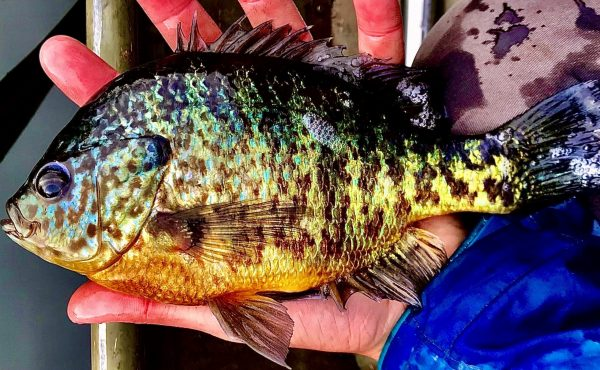 blue gill fish (3)