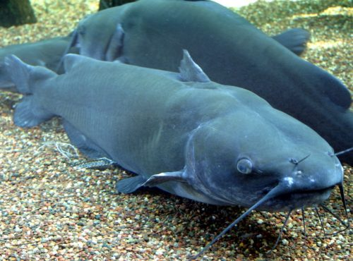 channel catfish more close up