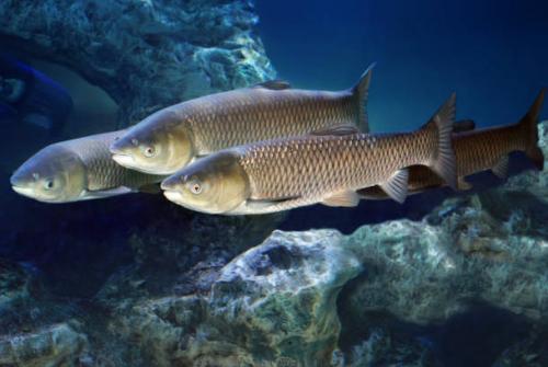 group of triploid grass carp