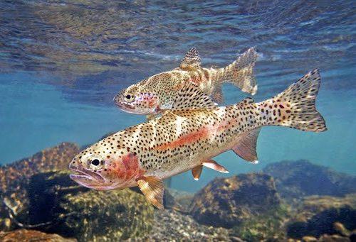 rainborw trout 2