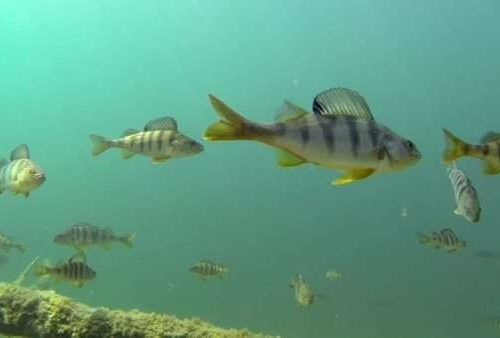 yellow perch group